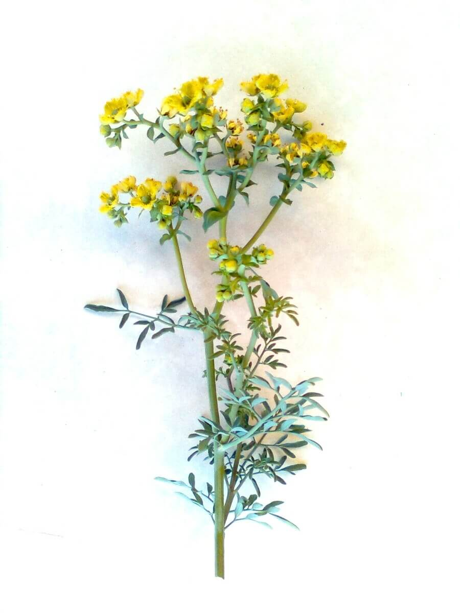 Image result for rue plant