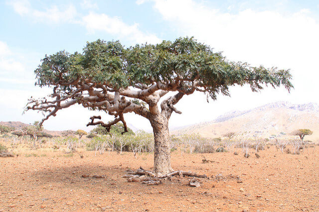 Frankincense Varieties: What's the difference?