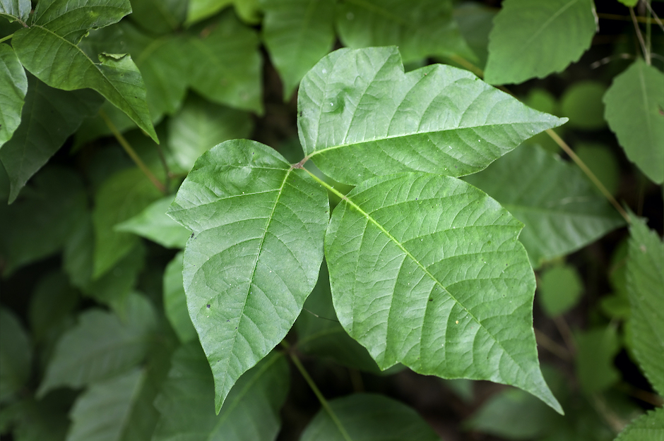 Natural Remedies for Poison Ivy
